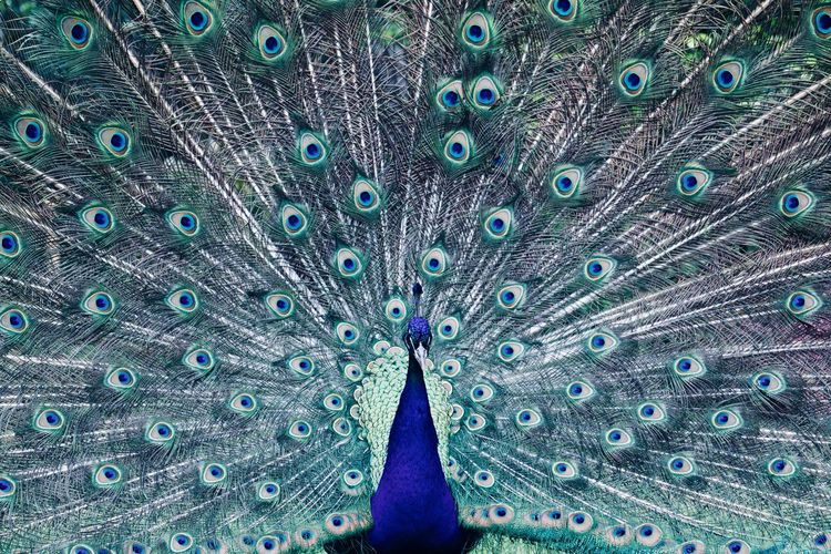 Peacock in Holland Park Bird Photography Birds Of EyeEm  Carnival Magnificent Psychedelic Animal Themes Animal Wildlife Animals In The Wild Bird Birds_collection Carnival Spirit Fanned Out Feather  Feather  Multi Colored Peacock Peacock Colors Peacock Feather Psychedelicart