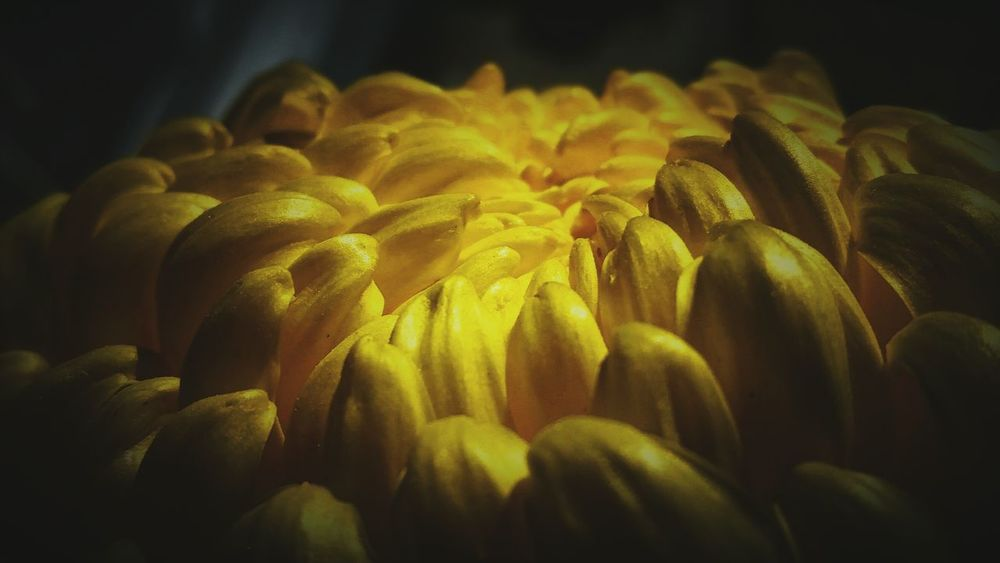 Big Flower Chrysanthemum Flower Head Yellow Close-up No People Freshness Nature Flower Indoors  Fragility Day