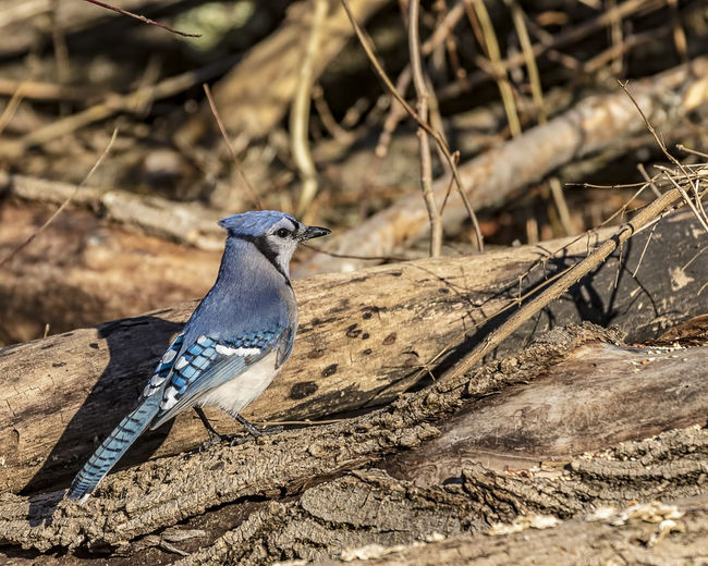 A beautiful blue jay resting in the forest. Animal Themes Animal Animal Wildlife Animals In The Wild Bird Land Nature Perching Outdoors Looking Looking Away Foliage Blue Jay Cyan0citta Cristata Avian Perched Ornithology  Crested Gecko Winged Forest WoodLand Beauty In Nature Available Light