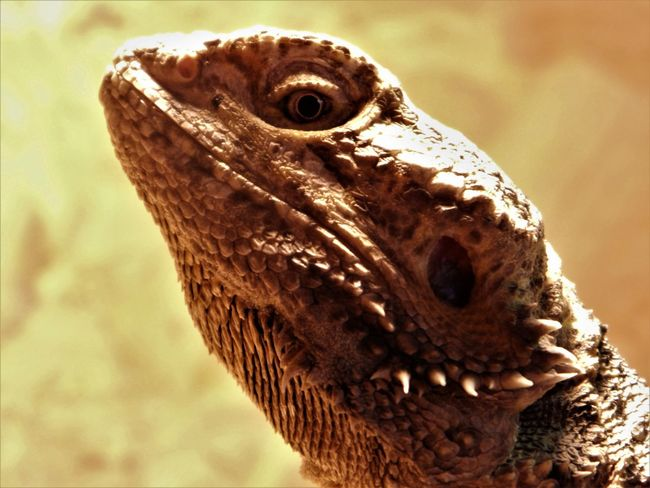 50+ Bearded Dragon Pictures HD | Download Authentic Images on EyeEm