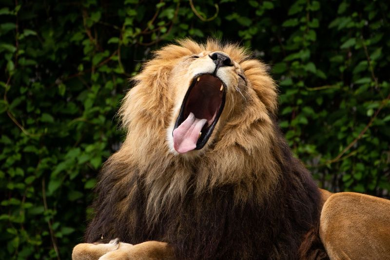 Close-up of lion yawning in forest