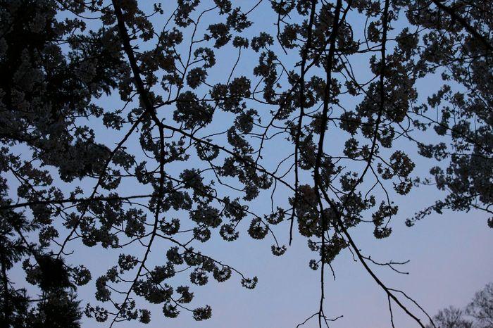 もう、桜だかなんだか………?😅💦 Spring Flowers Flower Flower Collection Nightphotography サクラ 桜 Cherry Tree シルエット部 Flowers Silhouette_collection
