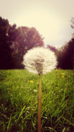 Dandelion Flower Sky