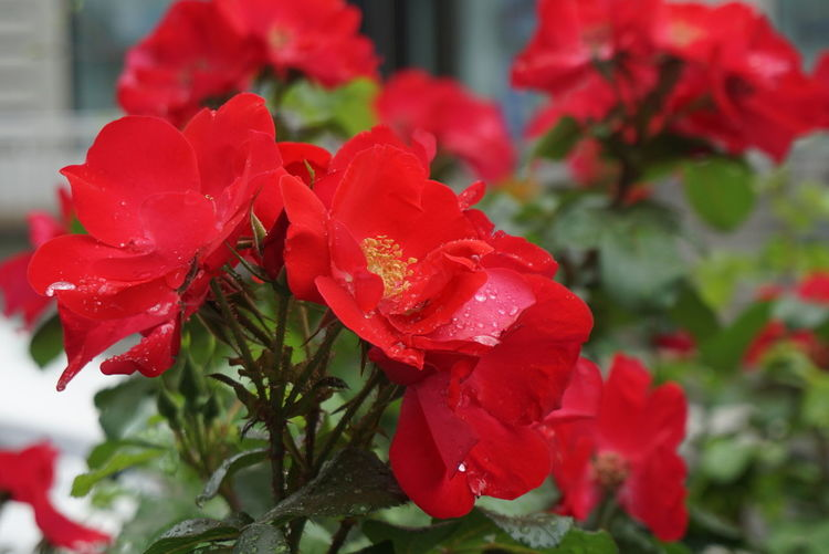 rose Red Plant