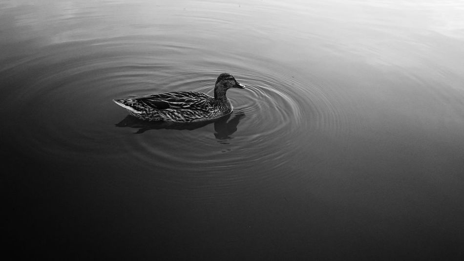 Duck Swimming Lake Wildlife Bird Feathered Smooth Surface Animal Black And White Anas Platyrhynchos Showcase June Monochrome Photography Black And White Friday
