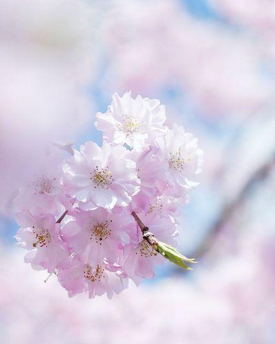Japan 日本 桜 サクラ Flower Pink Natural 自然 綺麗 Beautiful Flower Cute