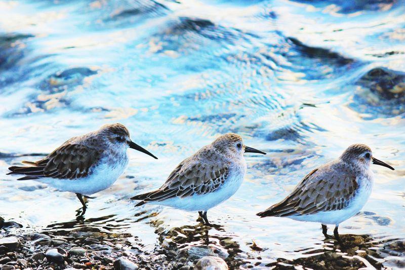 Sandpipers at sea shore