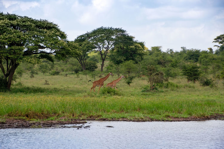Africa Kenya Animal Themes Wildlife Plant Tree Sky Nature Tranquility Day Grass Tranquil Scene Land Water Outdoors Landscape Forest Beauty In Nature No People Scenics - Nature Giraffe