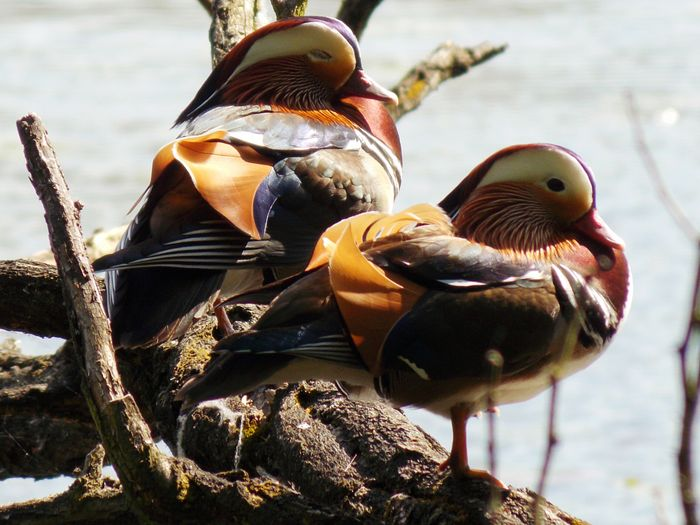 Close-Up Of Mandarin Ducks By Lake On Sunny Day
