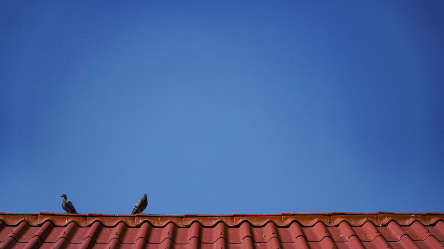Animal Themes Animals In The Wild Architecture Bird Bird Photography Birds Birds Of EyeEm  Birds_collection Blue Building Exterior Built Structure Clear Sky Copy Space Day Low Angle View Nature No People Outdoors Perching Roof Sky