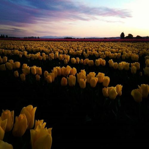 Tulips Yellowtulips Tulipfields Skagitcounty Flowerobsessed Beauty Beautiful Beautifulflowers Colorful Alltheprettycolors Flowerstagram Tulipsrock