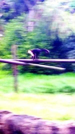 Spider monkeys run quickly. Animals Monkey Spidermonkey Zoo Zoo Animals  Zoo! Zoo Day ZOO-PHOTO