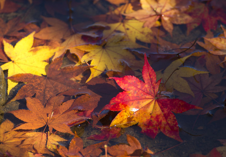 Beautiful maple leaves and sunlight Autumn Leaf Plant Part Maple Leaf Leaves Change Orange Color No People Nature Close-up Beauty In Nature Plant Maple Tree Day Yellow Outdoors Backgrounds Autumn Collection Leaf Vein Natural Condition Fall