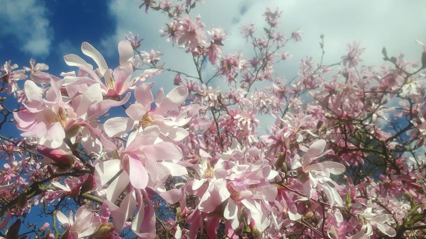 Nature Beauty In Nature No People Outdoors Growth Sky Flower Pink Color Close-up Sunset Day Fragility Freshness Maroon Magnolia Magnolia_Blossom Magnolia Blossoms Magnolia Blossom Magnolia Tree Magnolia Loebnerirosa sternmagnolie Magnolias Blooming Magnolia Flower Magnolienknospe Magnolienblüte Maroon
