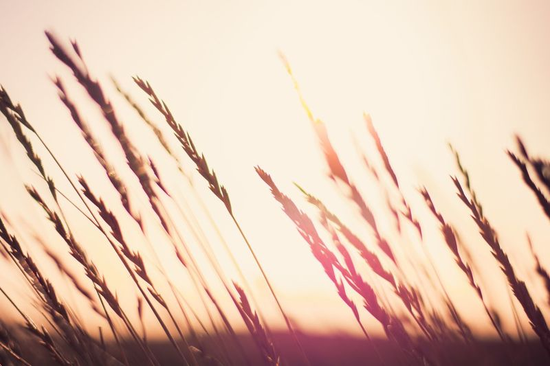 EyeEm Selects Through the fields, into the sun... Sunset Nature Cereal Plant Outdoors Growth Sky Field No People Scenics Close-up Freshness Striking Colors England Landscape EyeEm Best Shots Sunlight Clear Sky Day Exploring Seed Plant Rural Scene Fall Summer
