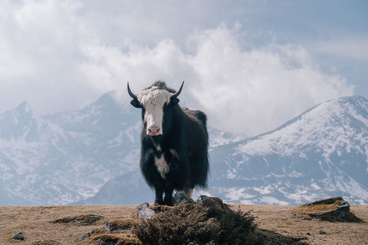 Yak standing on mountain against cloudy sky during winter