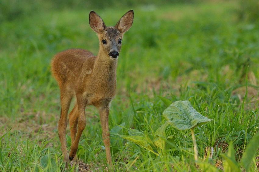 Animal Themes Beauty In Nature Biesbosch Nature Photography Ree Reekalf Roe Deer Roe Deer Cub Wildlife & Nature Wildlife Photography