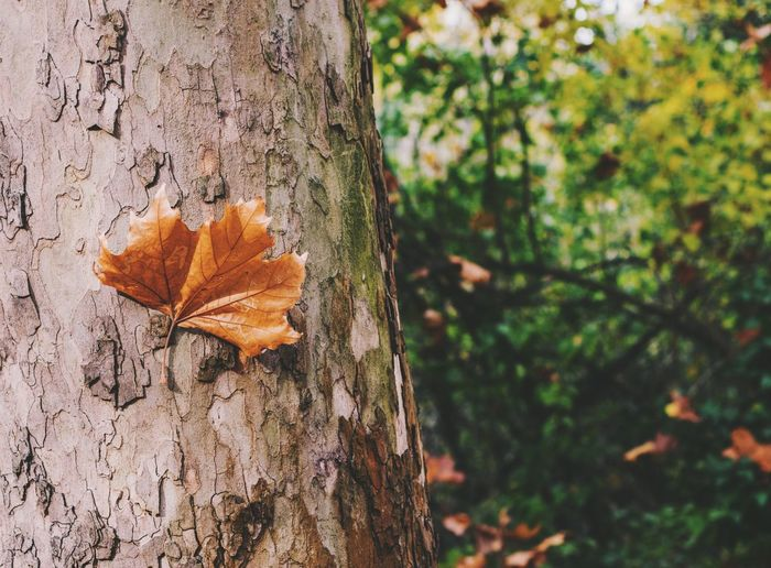 Autumn Autumn Colors Autumn Leaves Budapest Hungary Tranquility Autumn Beauty In Nature Focus On Foreground Leaf Maple Leaf Nature Nature_collection Nature_perfection Naturelovers No People Outdoors Tranquil Scene Tree Tree Trunk