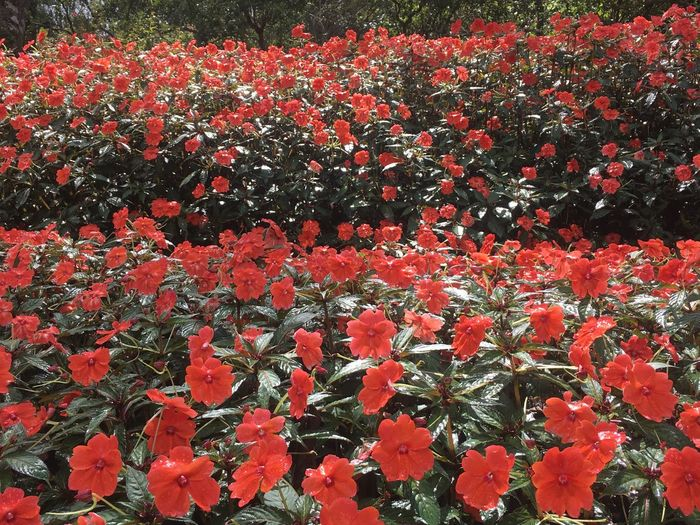 Plant Red Flowering Plant Flower Freshness Growth Beauty In Nature