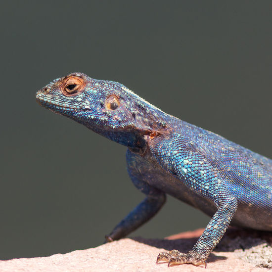 Blue headed agama portrait Animal Themes Animal Wildlife Animals In The Wild Blue Head Blue Head Agama Blue Headed Lizard Chameleon Close-up Day Lizard Nature No People One Animal Outdoors Reptile Vibrant Color