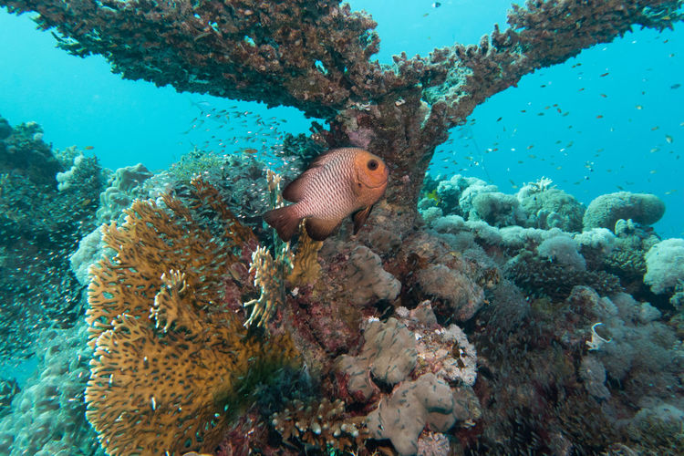 Red Sea Diving Coral Reef Fish And Coral Healthy Reef One Animal Sea Life UnderSea Underwater