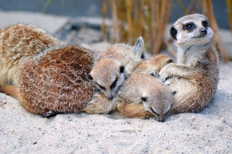 Meerkat family Mammal Animal Themes Nature Animal Wildlife Young Animal Meerkat