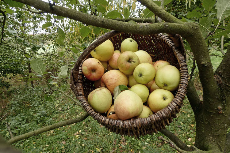 Fruits in basket on tree