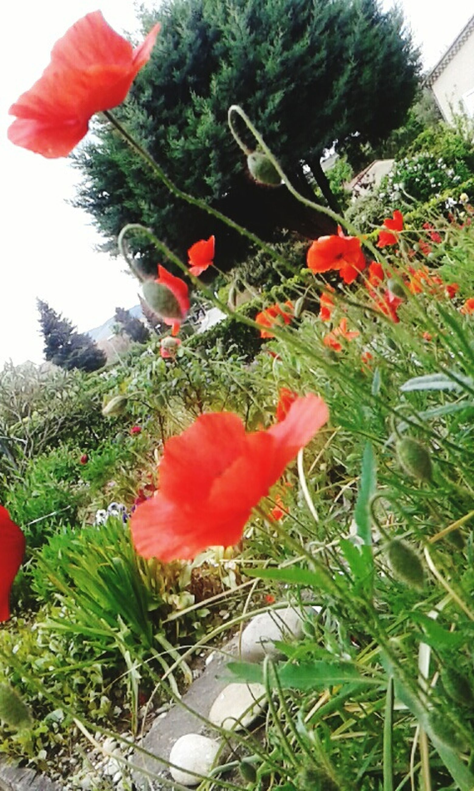 red, growth, flower, plant, freshness, petal, green color, beauty in nature, fragility, nature, blooming, flower head, low angle view, day, tree, leaf, poppy, outdoors, no people, close-up
