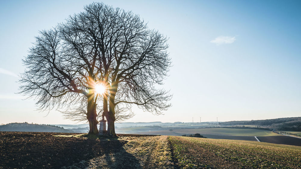Two chestnut trees Gegenlicht Bare Tree Beauty In Nature Bright Brightly Lit Chestnut Tree Contre-jour Day Environment Field Land Landscape Lens Flare Nature No People Outdoors Plant Scenics - Nature Sky Sun Sunbeam Sunlight Tranquil Scene Tranquility Tree