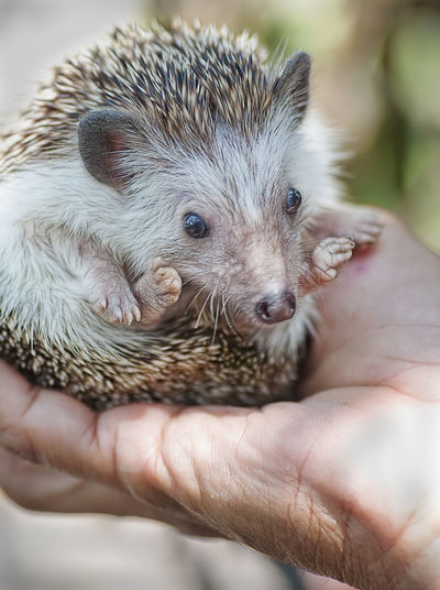 Hedgehog in the hand HOG Animal Wildlife Body Part Care Close-up Finger Focus On Foreground Hand Hedgehog Holding Human Body Part Human Hand Human Limb Lifestyles Mammal Needle One Animal Pet Owner Prick Quill Rodent Snout Spikey Unrecognizable Person Vertebrate