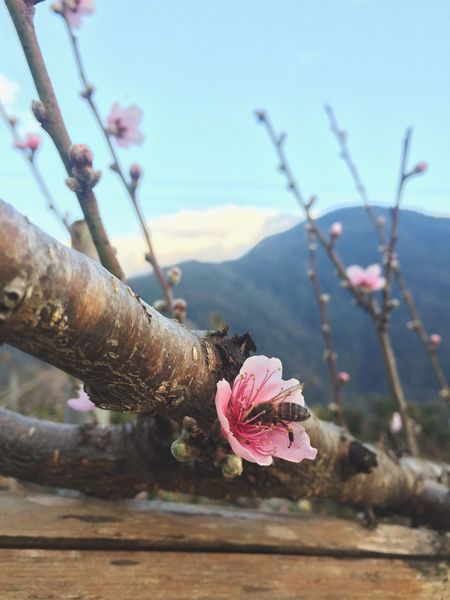 🌸🌸🌸🐝🐝🐝 What a busy bee it is ! 🐝🐝🐝 Flower Nature Growth Beauty In Nature Freshness Plant Sky Outdoors Blossom Taking Photos First Eyeem Photo Winter Pink Color Mountain Taiwan Uniqueness EyeEmNewHere The Great Outdoors - 2017 EyeEm Awards The Week On EyeEm The Still Life Photographer - 2018 EyeEm Awards