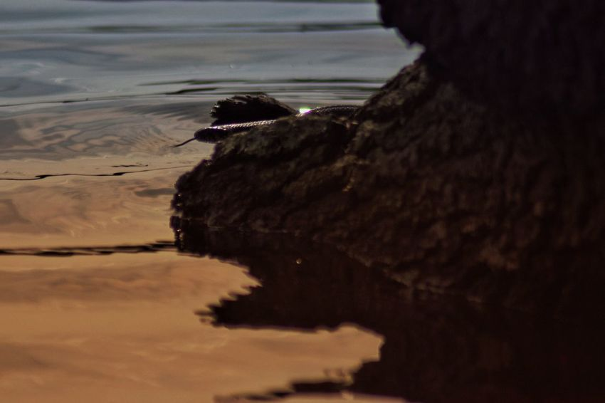 Grass Snake Snake Water One Animal Animal Sea Animal Themes Nature Beach Animal Wildlife Animals In The Wild No People Beauty In Nature Silhouette Scenics - Nature Vertebrate Reflection Tranquility Outdoors