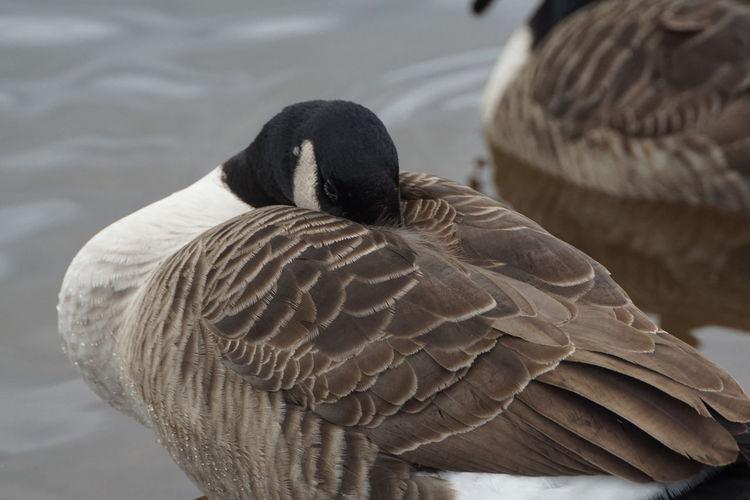 Canada Goose resting Beauty In Nature Bird Bird Photography Birds Of EyeEm  Canada Goose Goose Lake Nature Outdoors Resting Goose Water