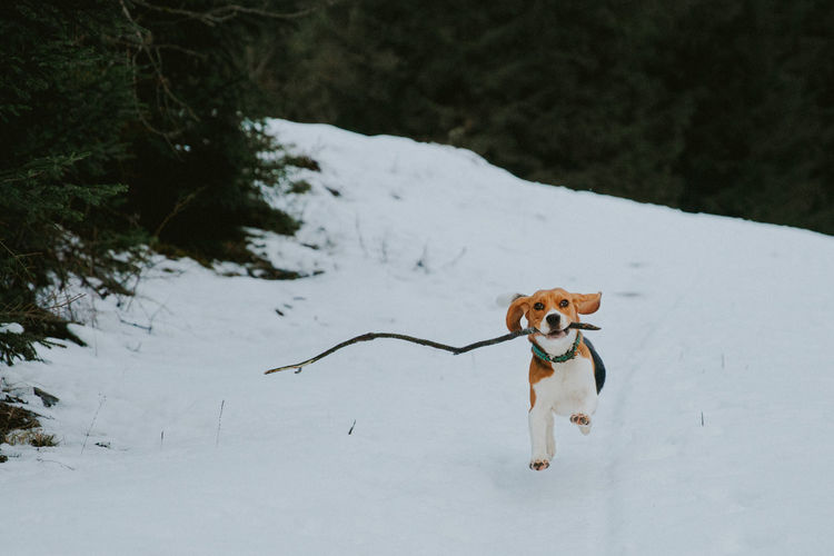snow dog Run Running Animal Themes Beagle Cold Temperature Day Dog Domestic Animals Mammal Nature No People One Animal Outdoors Pets Snow Tree Winter