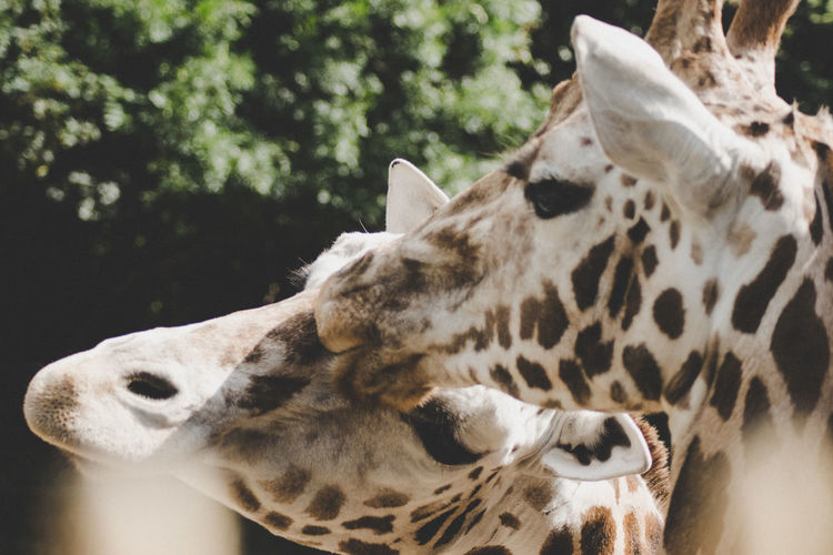 Giraffe Love Zoo Animal Markings Animal Themes Animal Wildlife Animals In The Wild Close-up Day Focus On Foreground Mammal Nature No People One Animal Outdoors Safari Animals Spotted