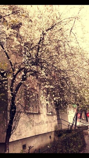 Nature Nature Lover Blossom Tree White Beautiful Day :) Peaceful Moment Beautiful Weather♡ Live Life To The Fullest Enjoying Life