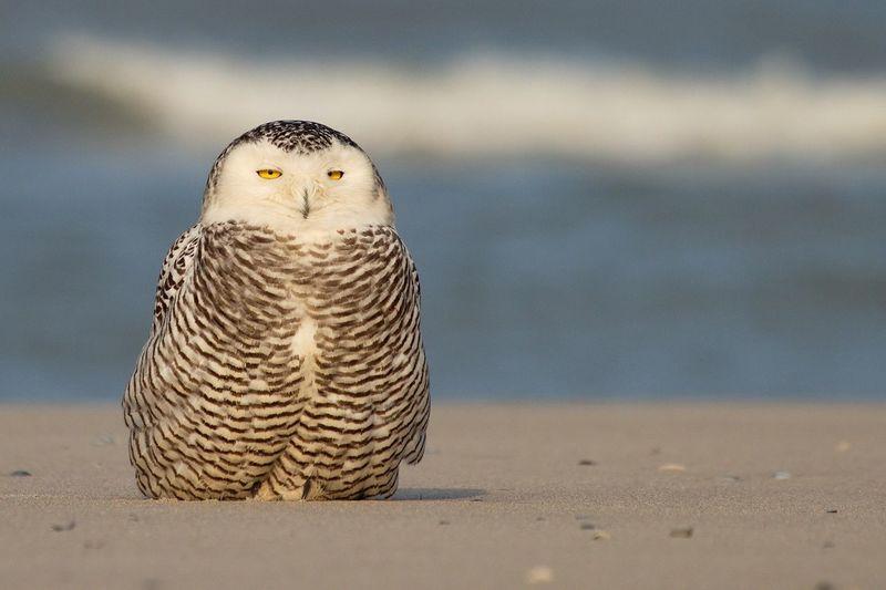 Sneeuwuil,snowy owl,Vlieland