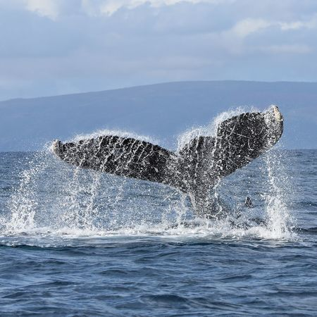 Animals In The Wild Horizon Over Water Humpback Whale No People One Animal Sea Life Splashing Tail Fin Whale Whale Fluke