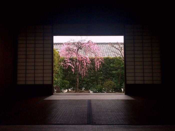 Ume Japaneseapricot Weeping Weepingplum JapaneseStyle Engawa Veranda 枝垂れ梅 縁側