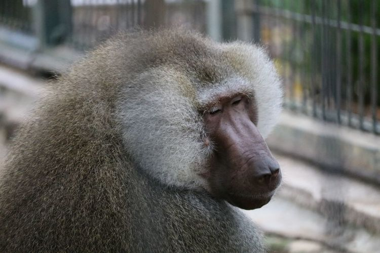 Close-up of baboon in forest
