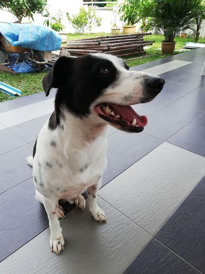 Pets Dog Beagle