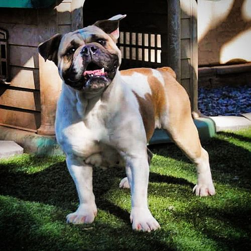 Molly goofing around and making Funnyears Oneofakindbulldogs Bulldogs Oldeenglishbulldogges oeb oldenglishbulldogs victorianbulldogs bulldog bulldogsofinstagram dogsofinstagram bullyinstafeature premierbreeder dogoftheday dogs dog