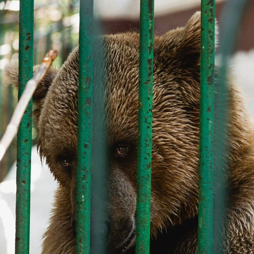 One Animal Bear Mammal Animal Themes Animal Wildlife Day Close-up Looking At Camera No People Animals In The Wild Outdoors Portrait Trapped Nature
