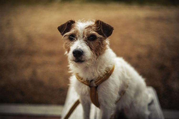 Dogportrait Jackrussellterrier Jackrussell Dog Portrait One Animal Dog Canine Mammal Pets Domestic Domestic Animals Vertebrate Portrait Looking At Camera Focus On Foreground No People Day Looking Animal Body Part Close-up Jack Russell Terrier