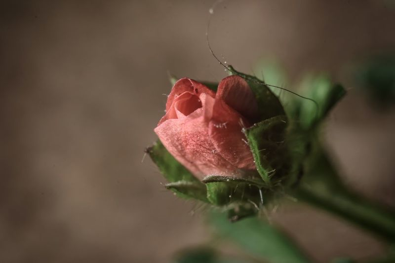 Close-Up Of Rose Bud Growing Outdoors