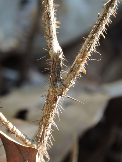 thorns!! Close-up Day Focus On Foreground Nature No People Outdoors Plant Sunlit Thorns🌹