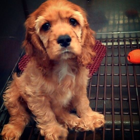 Every time I go into a Petstore I want to buy all the Animals I swear ❤ Dogs Cockerspaniel Adorable Perfect Sweet Aww Dogsofinstagram
