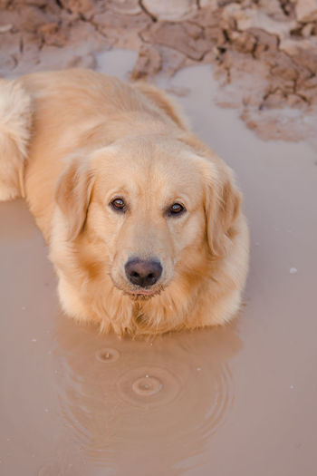 Fun golden retriever dog playing in the mud. Adventure Animal Ball Cooling  Countryside Cute Dirt Dirty Dog Domestic Forest Fun Golden Happy Heat Hike Look Mammal Messy Mud Muddy Nature Outdoor Outdoors Outside Park Paws Pet Play Playful Playing Portrait Puddle Pure Retriever Road Sitting Vertical Water Wet Yellow Canine One Animal Looking At Camera Domestic Animals Labrador Retriever Animal Head  Purebred Dog Golden Retriever