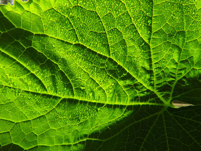 Backgrounds Close-up Cucumber Cucumber Plant Day Freshness Full Frame Garden Gardening Green Color Growth Growth Leaf Leaf Vein Learn & Shoot: Simplicity Leaves Macro Macro Photography Nature No People Outdoors Plant Summer Tranquility Window Sill