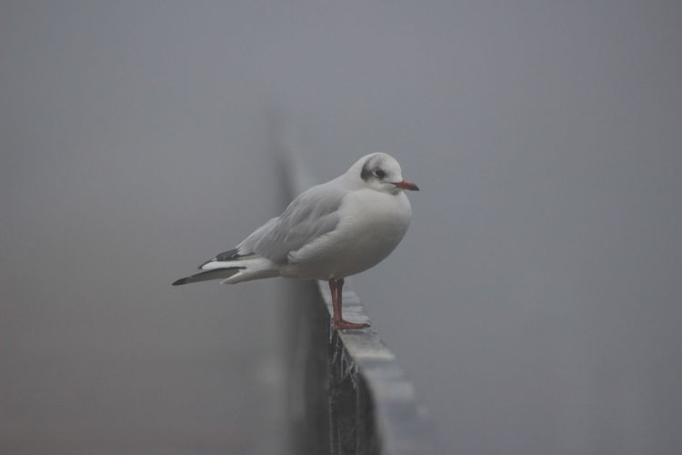 Bird Fog River One Animal Animal Wildlife Animals In The Wild Animal Themes No People Gray Background Nature Outdoors